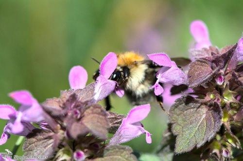 Macro shot of a bee behind a tiny flower / Makroaufnahme einer Biene hinter einer kleinen Blüte