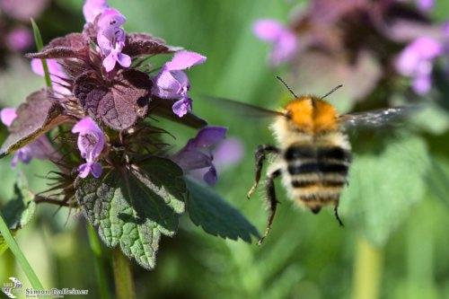 Macro shot of a bee approaching a tiny flower / Makroaufnahme einer Biene im Anflug auf eine kleine Blüte