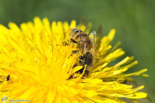Macro shot of a bee on a flower / Makroaufnahme einer Biene auf einer Blüte
