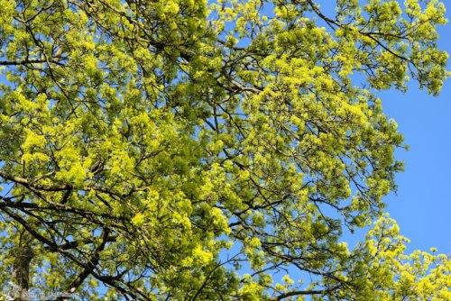 Baum mit jungen Blättern
